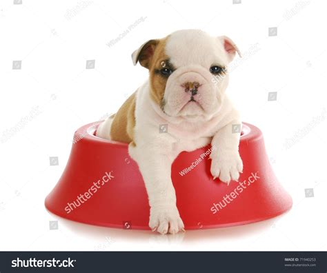5 week puppy food weaning puppy 5 week bulldog puppy sitting inside food bowl on