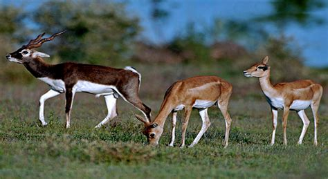 Animal Indian 07 animals of india the blackbuck antelope womennow in