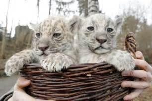 Pictures Of White Jaguars Interessante Raros Filhotes De On 231 A Branca