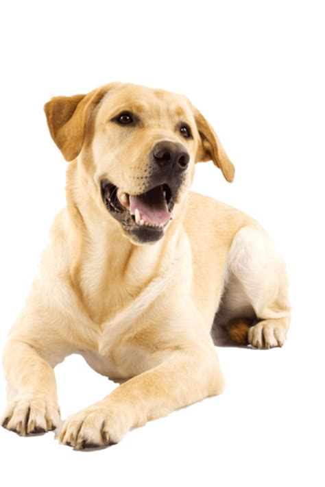 how bad do golden retrievers shed do labrador retrievers shed 5 surprising facts about labrador retrievers mnn breed