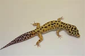 west coast leopard gecko emerald leopard gecko
