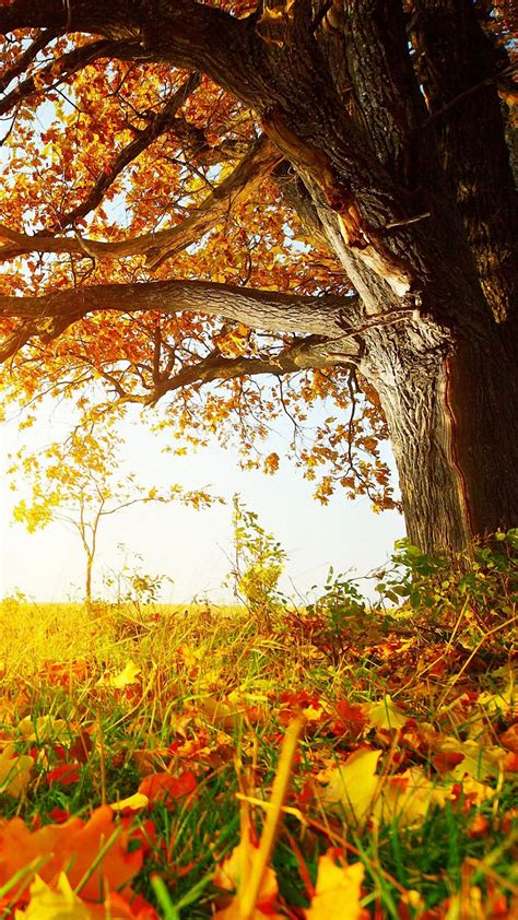 nature fall tree leaves iphone  wallpapers hd