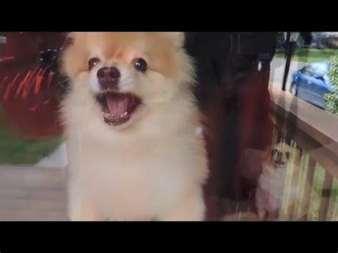 pomeranian attack when pomeranians attack learn to greet visitors ep 27