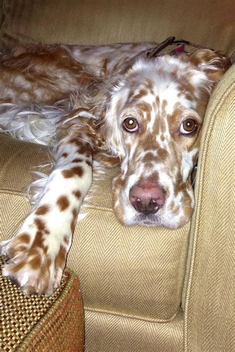 lemon setter dog english setter the country life pinterest