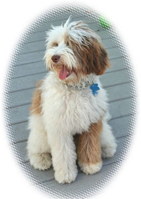 doodle pet rescue best 25 labradoodle adoption ideas on