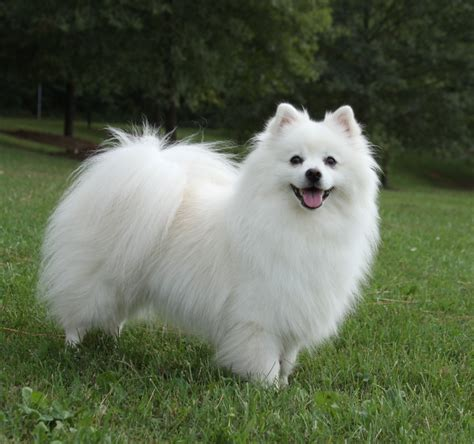 american dogs american eskimo pictures diet cycle facts habitat behavior