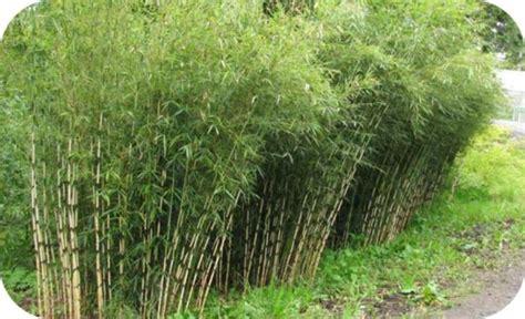 bamboe groningen bamboe 2dehandsnederland nl gratis tweedehands