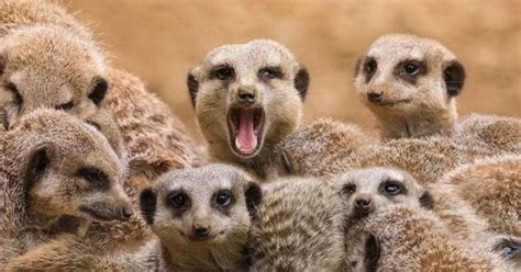 Home Design And Remodeling 11 things you didn t know about meerkats mnn mother