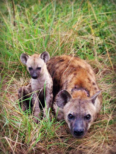 hyena puppies hyena puppy animal africa south africa domain pictures free pictures
