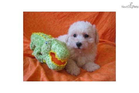 yorkie puppies for sale clearwater fl bichon frise puppy bichon frise puppies bichon frise for sale breeds picture