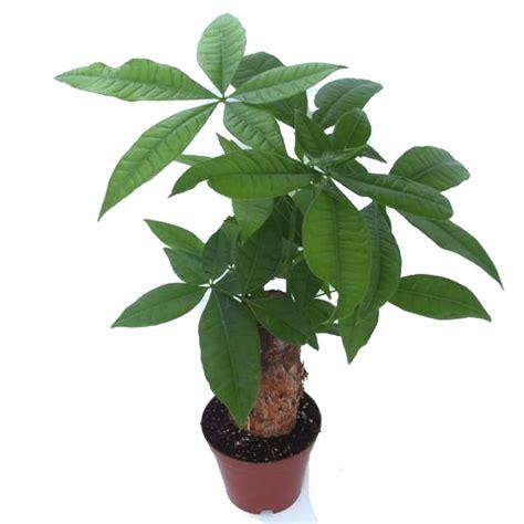 Bonsai Baum Garten 435 by 1pcs Pachira Macrocarpa Samen Garten B 252 Ro Money Tree