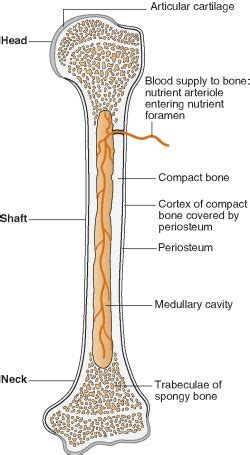 long bone cross section compact bone definition of compact bone by medical