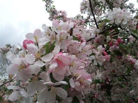 Small Light Pink Tree Flowers By Mahnialiceskaggs On