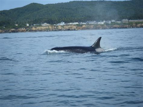 whale s tail charters orca whales killer of whales