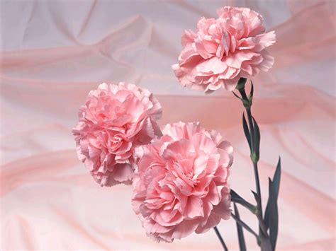 pink colour pink color photo 36912356 fanpop pink carnation pink color photo 34691889 fanpop