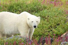 polar and fireweed 1 royalty free stock photos image 33289108