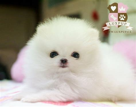 teacup pomeranian pics teacup white pomeranian flickr photo
