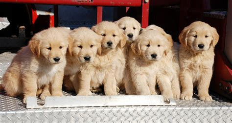 best age to a puppy golden retriever puppies