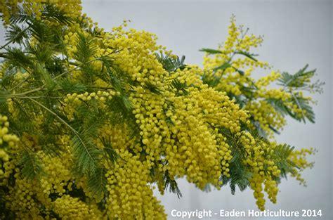 Click And Grow Garden by The Mimosa Tree Acacia Dealbata The Garden Of Eaden