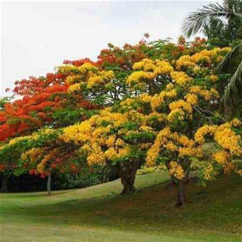 Benihbijibibit Bunga Bonsai Flamboyan Orange 1000 images about trees on trees aspen trees and moss
