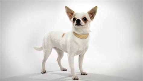 chihuahua puppies pictures chihuahua breed selector animal planet