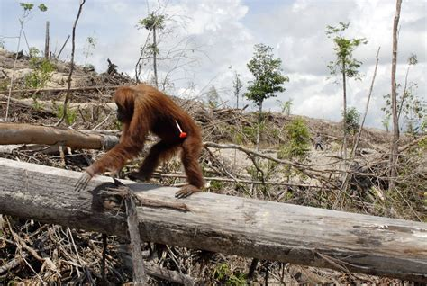 not so different finding human nature in animals books how palm production has changed for the orangutan