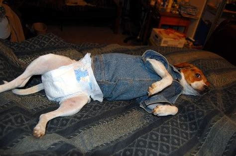 diapers for dogs in heat will your wear a mine is a big baby mylot