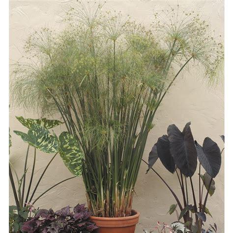 paper plant cyperus papyrus