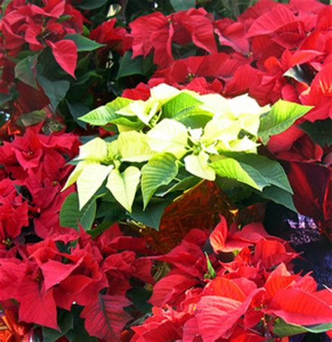 poinsettia care tips for growing poinsettias