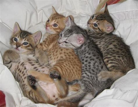cat breeders ocicat kittens animals