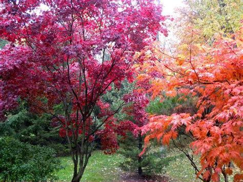 japanese maples trees favorite trees pinterest