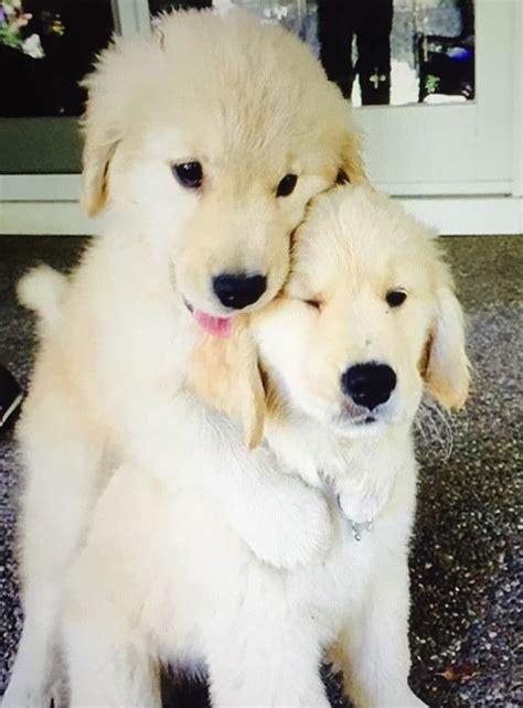 best toys for golden retriever puppies 25 best ideas about white golden retrievers on golden retrievers