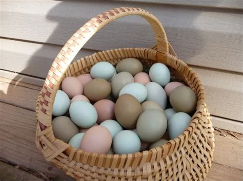 copper colored eggs rosemary lavender araucana chickens lay eggs in different colors from khaki