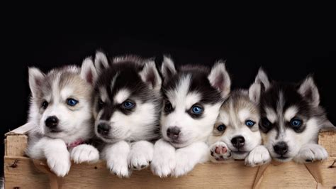 dog wallpapers free desktop wallpaper box impossibly cute husky puppies youtube