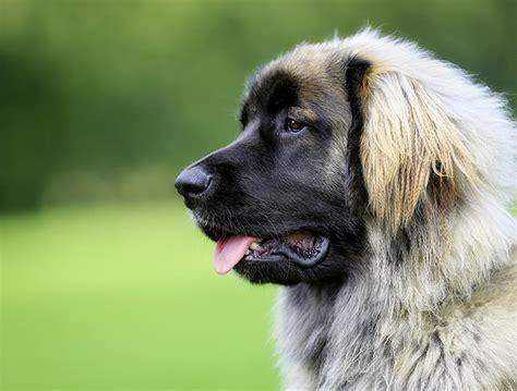 lade berger razas de perros grandes nombres y fotos
