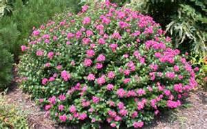 pocomoke dwarf crape myrtle 3 gallon dwarf crape myrtle buy plants