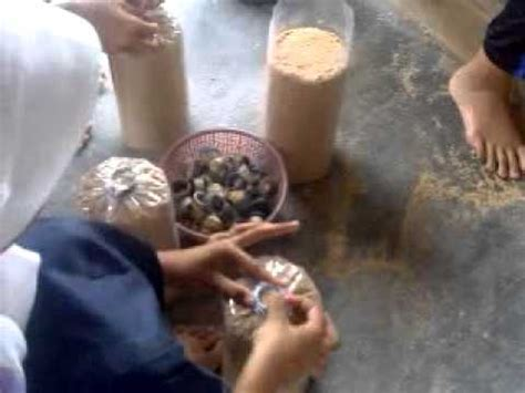 Bibit Jamur Tiram Wonosobo pembuatan bibit f0 jamur tiram doovi