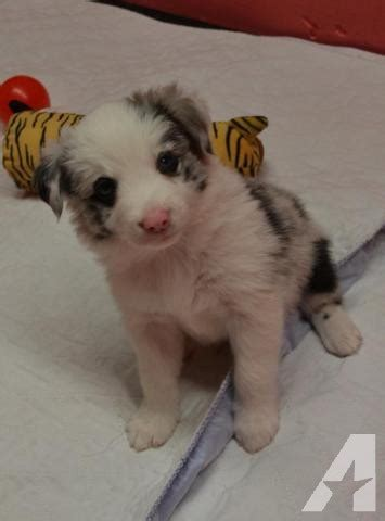 border collie puppies for sale ny akc border collie puppies microchipped for sale in constantia new york classified