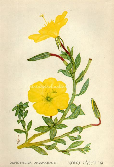 2 vegetables that can be eaten evening primrose roots can be eaten like a vegetable