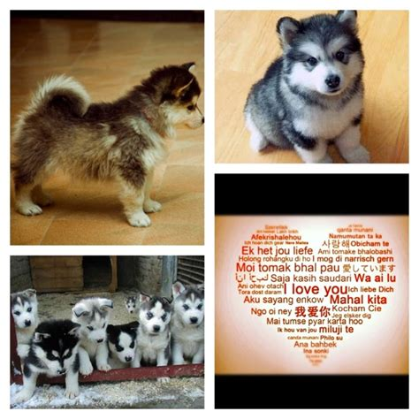 how big do husky pomeranian mix get 22 best husky pomeranian mix dogs images on fluffy pets puppys and