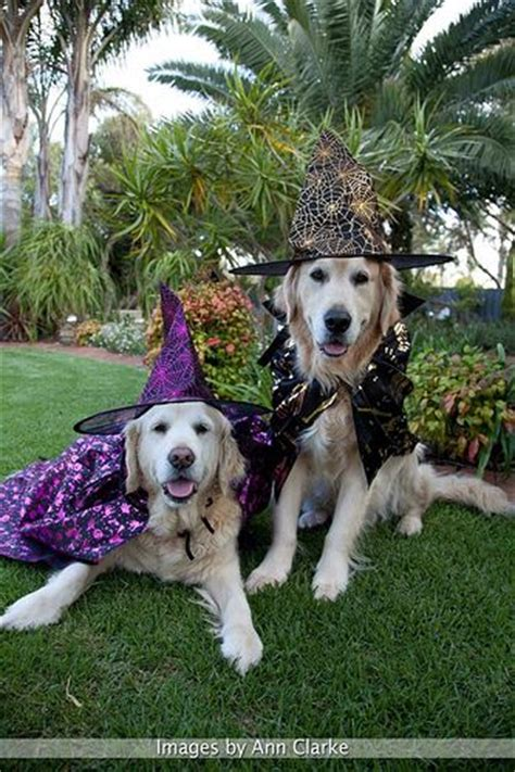 golden retriever fly recipe 86 best images about golden retrievers in costume on the golden funniest