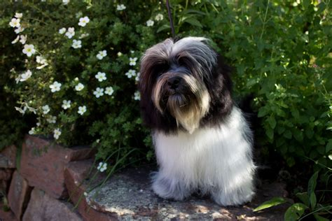 are havanese barkers wildflower havanese healthy happy dogs for sale near denver co