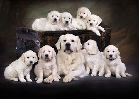 michigan golden retriever golden retriever puppies carson