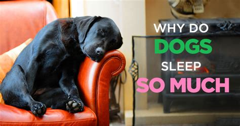 do dogs sleep why do dogs sleep so much no it s not because he s lazy
