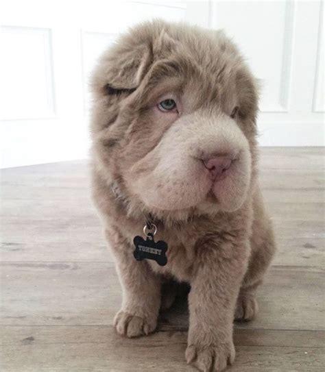 coat shar pei puppies tonkey the coat shar pei woof shar pei puppies am and i am