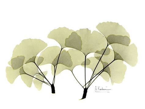 albert koetsier ginkgo leaves by albert koetsier susan spiritus gallery