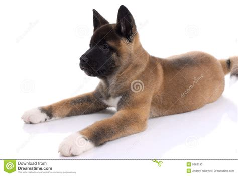 your purebred puppy akita purebred puppy stock photos image 9162193