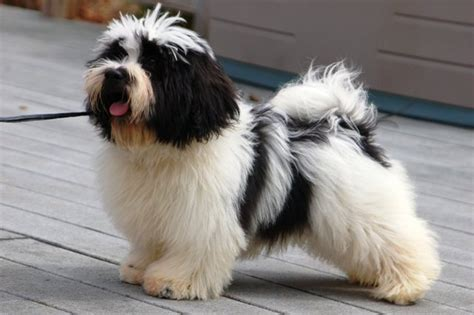 havanese black and the gallery for gt black and white havanese