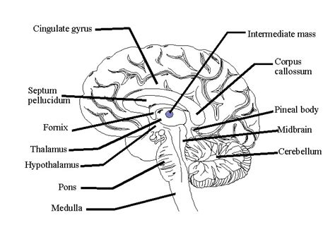 brain diagram quiz brain image brain functions diagram