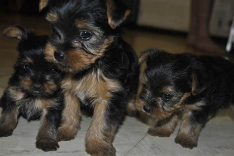 yorkie puppies for sale in ga yorkieshihtzupoodlemix breeds picture